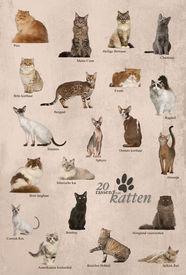 foto of american bombay  - Cat breeds poster in Dutch - JPG