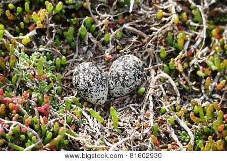 Bird Eggs In The Field