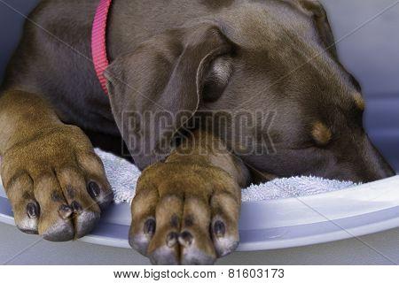 Sleepy Doberman Puppy
