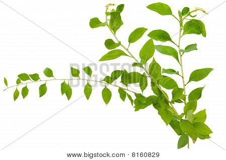 Chinese Lycium Boxthorn