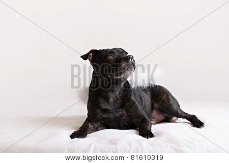 Staffordshire Bull Terrier Dog In Angel Wings