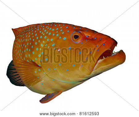 Grouper fish isolated on white background
