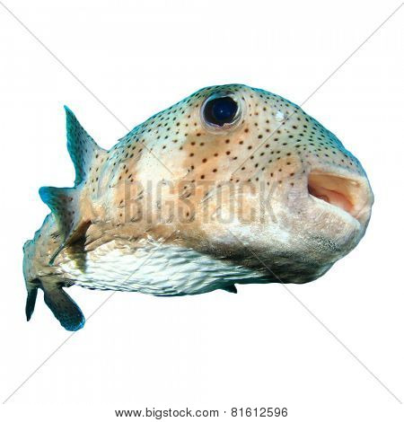 Tropical fish isolated: Porcupinefish