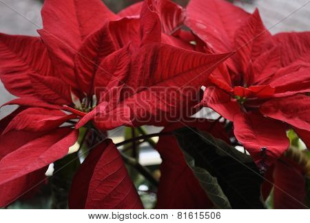 Christmas flower close up background