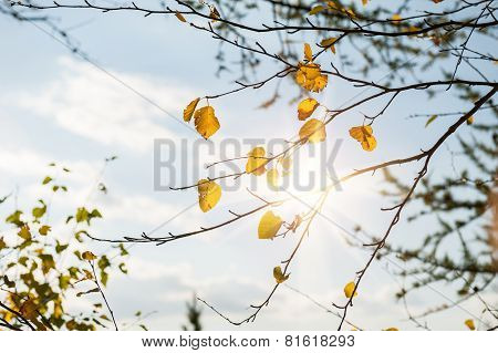 Yellow Leaves On The Birch Tree. Autumn Landscape