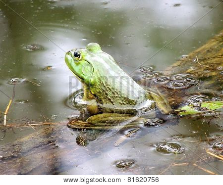 Bull Frog Sitting In The Water