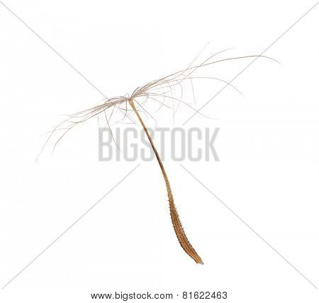 single dandelion seed isolated on white background