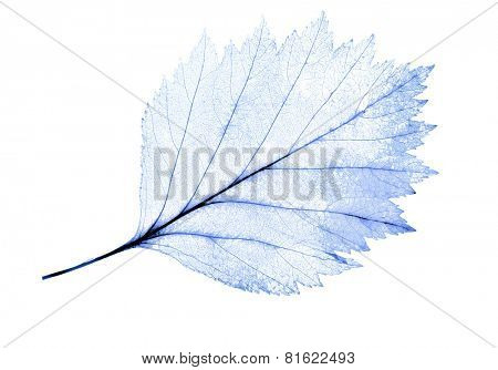 light blue leaf skeleton isolated on white background