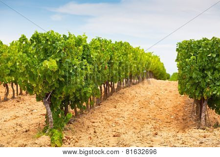 Vineyard Field Landscape