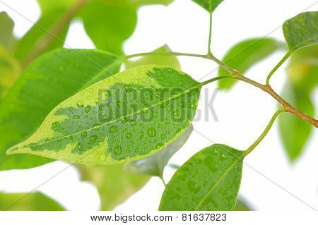 Ficus Leaves Close-up