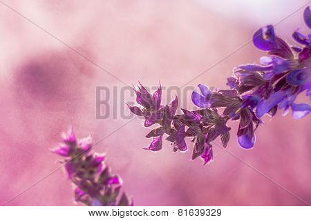 Wild Lavender In The Spring A Young Field