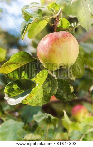 Sunlit Green Apples On A Tree Branch