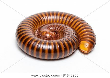 Tropical Millipede Isolated