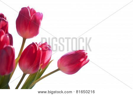 Close Up Of Tulip Bouquet Isolated With Copy Space