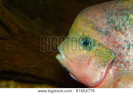 Portrait Of The Vieja Fish