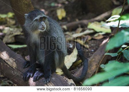 Portrait Of A Blue Monkey