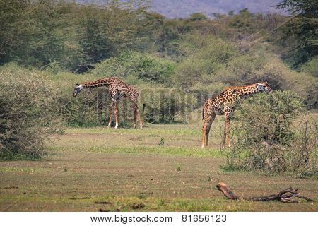 Giraffe On Safari Wild Drive, Kenya.