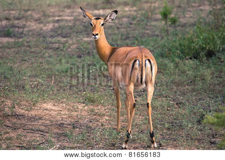 Female Impala Antelopes