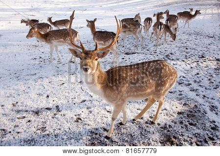 Male Fallow Deer And Group Of Females In The Snow