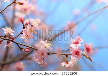 Wild Himalayan Cherry ( Prunus Cerasoides ) ( Sakura In Thailand ) At Phu Lom Lo Mountain