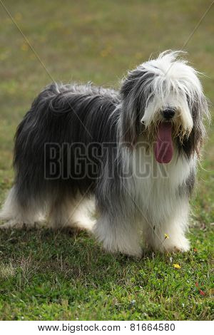 Beautiful Bearded Collie Looking At You