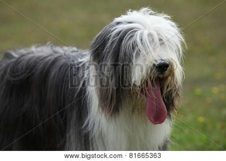 Portrait Of Beautiful Bearded Collie