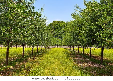 Orchard Of Plum Trees