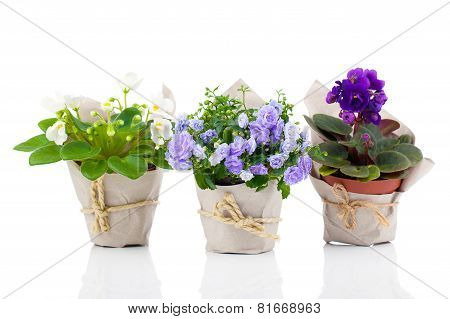 Blue Campanula Terry, Blue And White Saintpaulias Flowers In Paper Packaging, Isolated On White Back