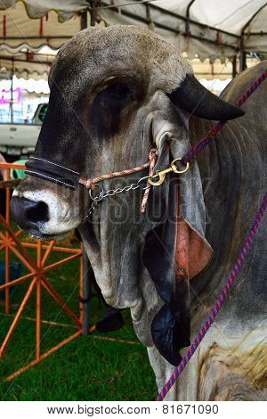 Brahman Cow Cattle Closeup Portrait