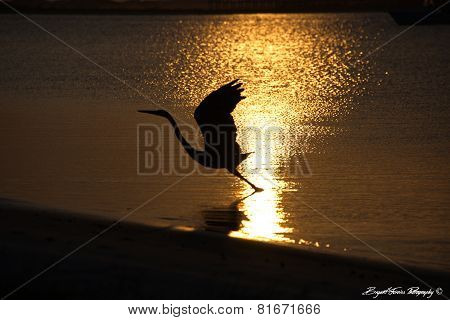 Herring Silhouette at Sunset