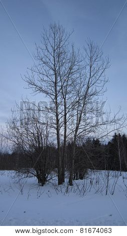 Evening poplar tree