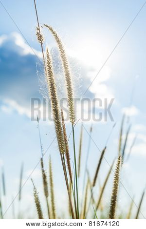 Lemma Grass That Light Of Sun Shining Behind With Bright Blue Sky