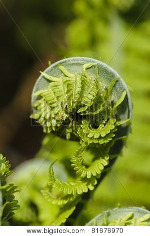 Fresh Green Leaves Of A Fern