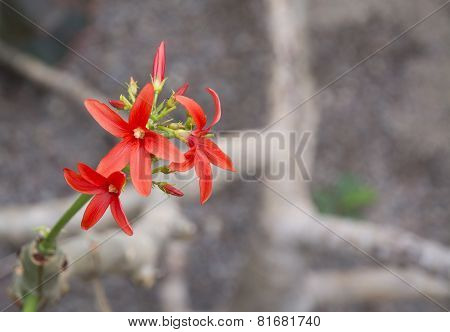 Red Flower Shrub Jatropha Macrantha