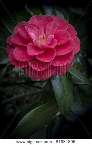 Red Camellia With Leaves
