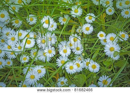 Bellis Perennis Common Daisy Covering A Lawn Closeup