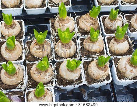 Crocus Bulbs In Plastic Pots