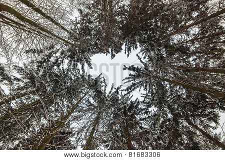 Winter Forest Trees