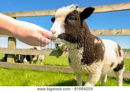 Feeding The Goat Kid At Farm Visitor Centre