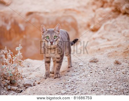 Young Cat In Desert