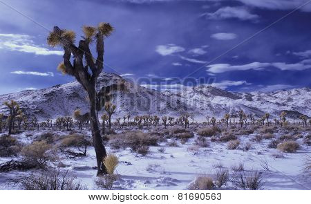 Joshua Tree in Infrared