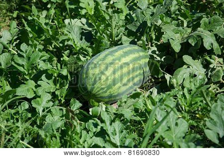 Watermelon Crop