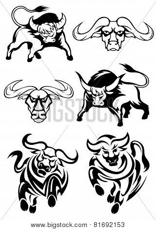 Black and white bulls or buffaloes