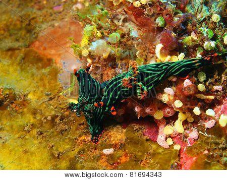 True sea slugs