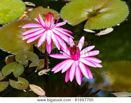 Water Lily In The Lagoon