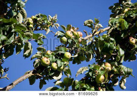 Organic Apple Tree