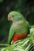 pic of king parrot  - Young male King Parrot sitting in tree fern - JPG