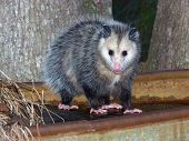 image of possum  - young opossum on frozen trough  - JPG