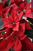 image of poinsettias  - Poinsettia beautiful christmas flower background in a sunny day of december - JPG