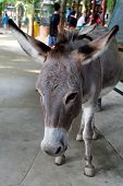 stock photo of wild donkey  - donkey is sillyfool but cute in zoo - JPG